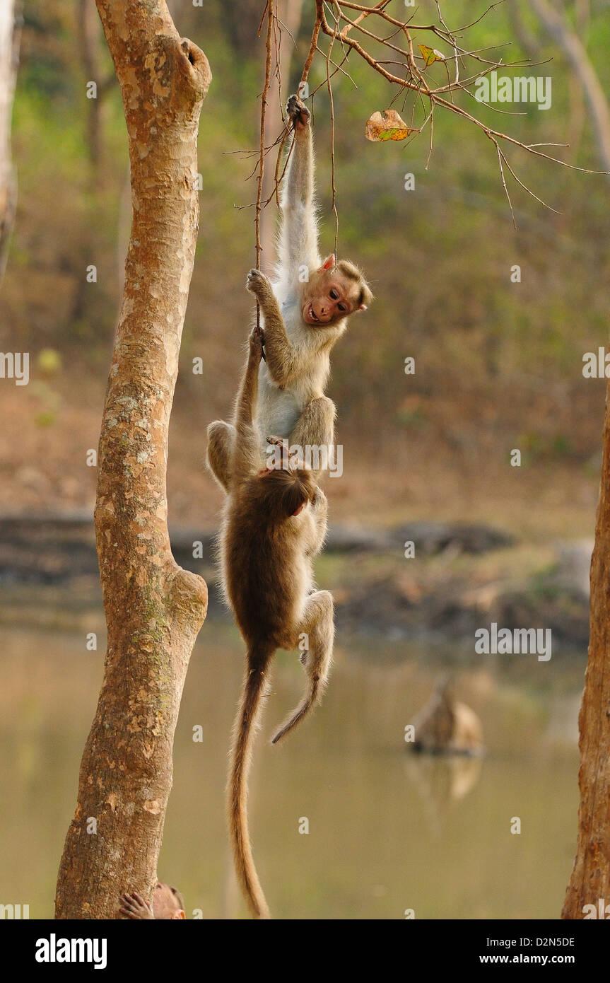 Bonnett Macaques playing, Karnataka, India, Asia - Stock Image