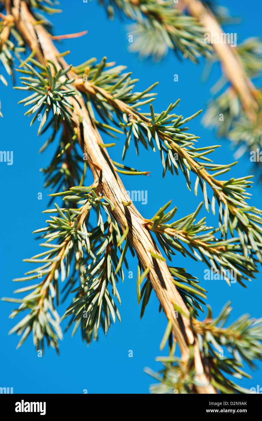 pine tree branch (Cedrus) - Stock Image