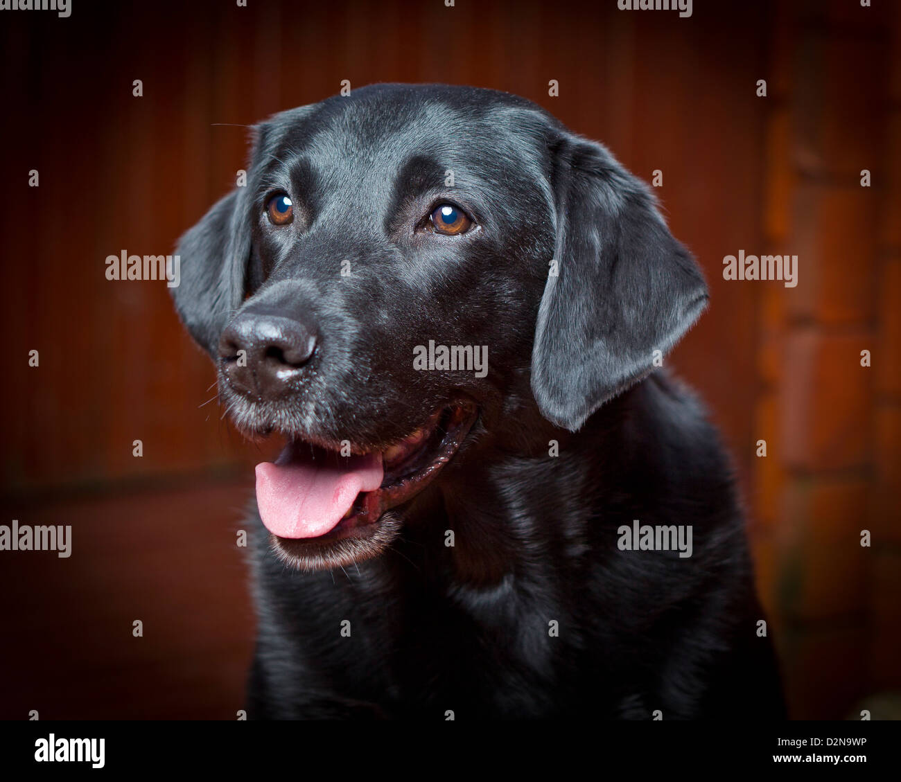 Black Labrador Retriever. Young male guide dog for the blind. - Stock Image
