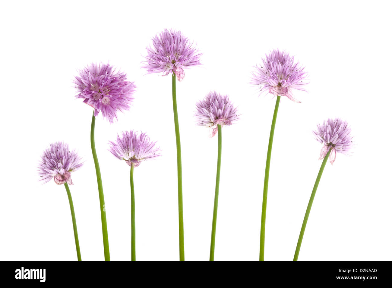 Allium schoenoprasum Chives flowers isolated on white background. - Stock Image