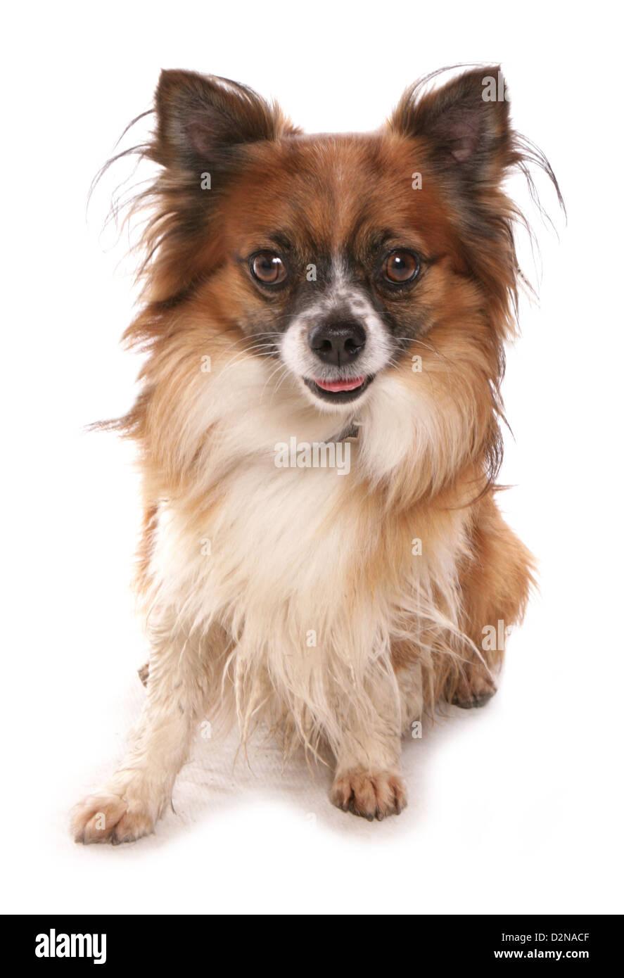pet dog studio cutout - Stock Image