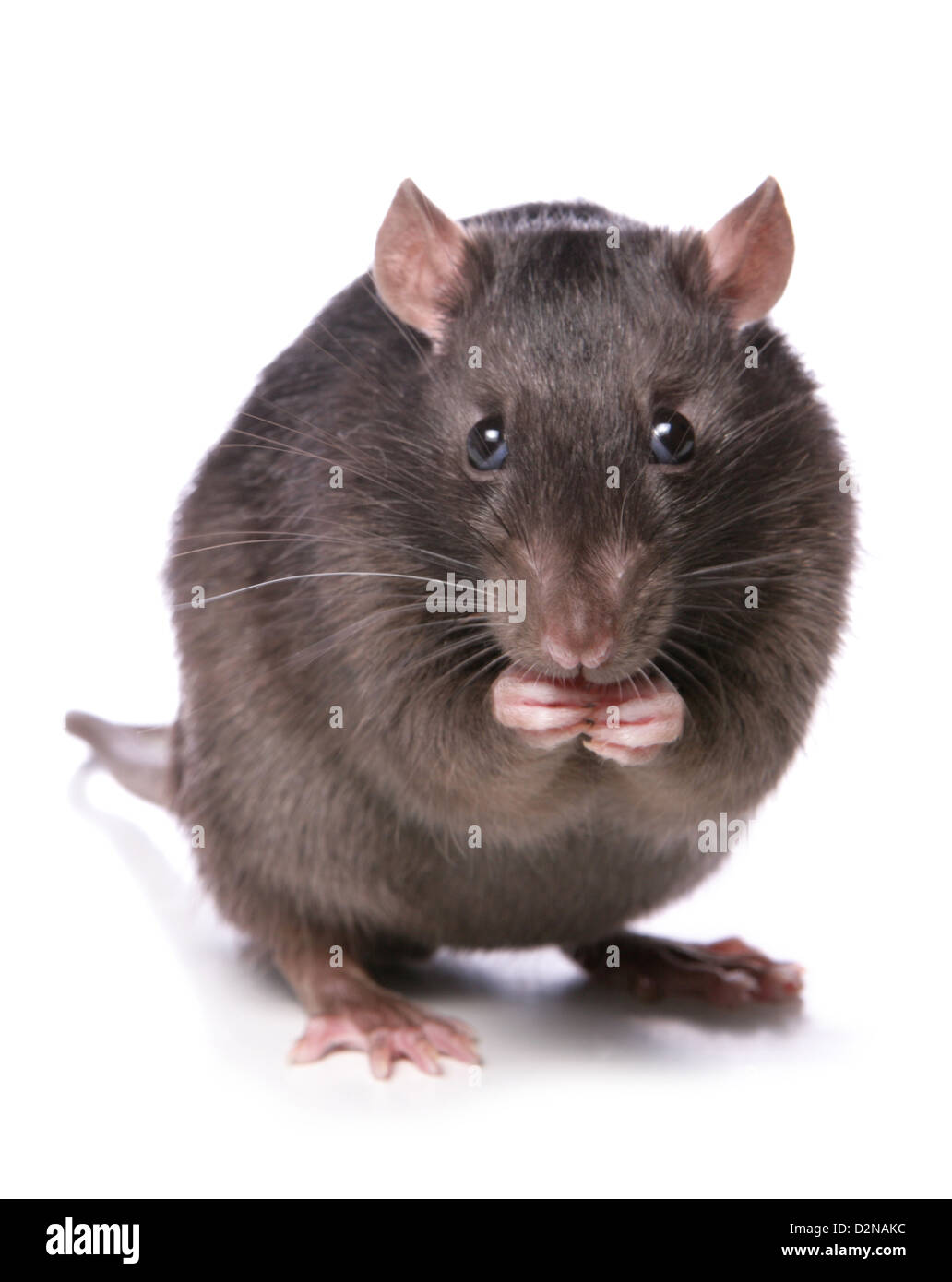 rat eating studio cutout - Stock Image