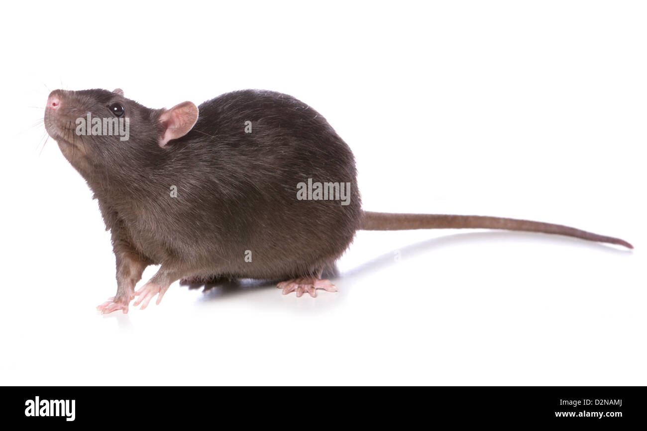 rat studio cutout - Stock Image