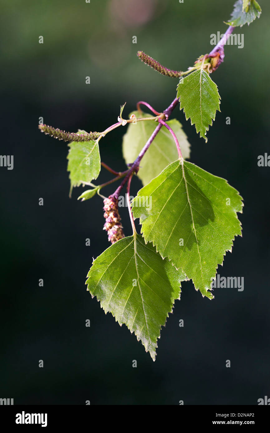 Birch tree branch showing leaves and catkins (Betula sp. ) in spring - Stock Image