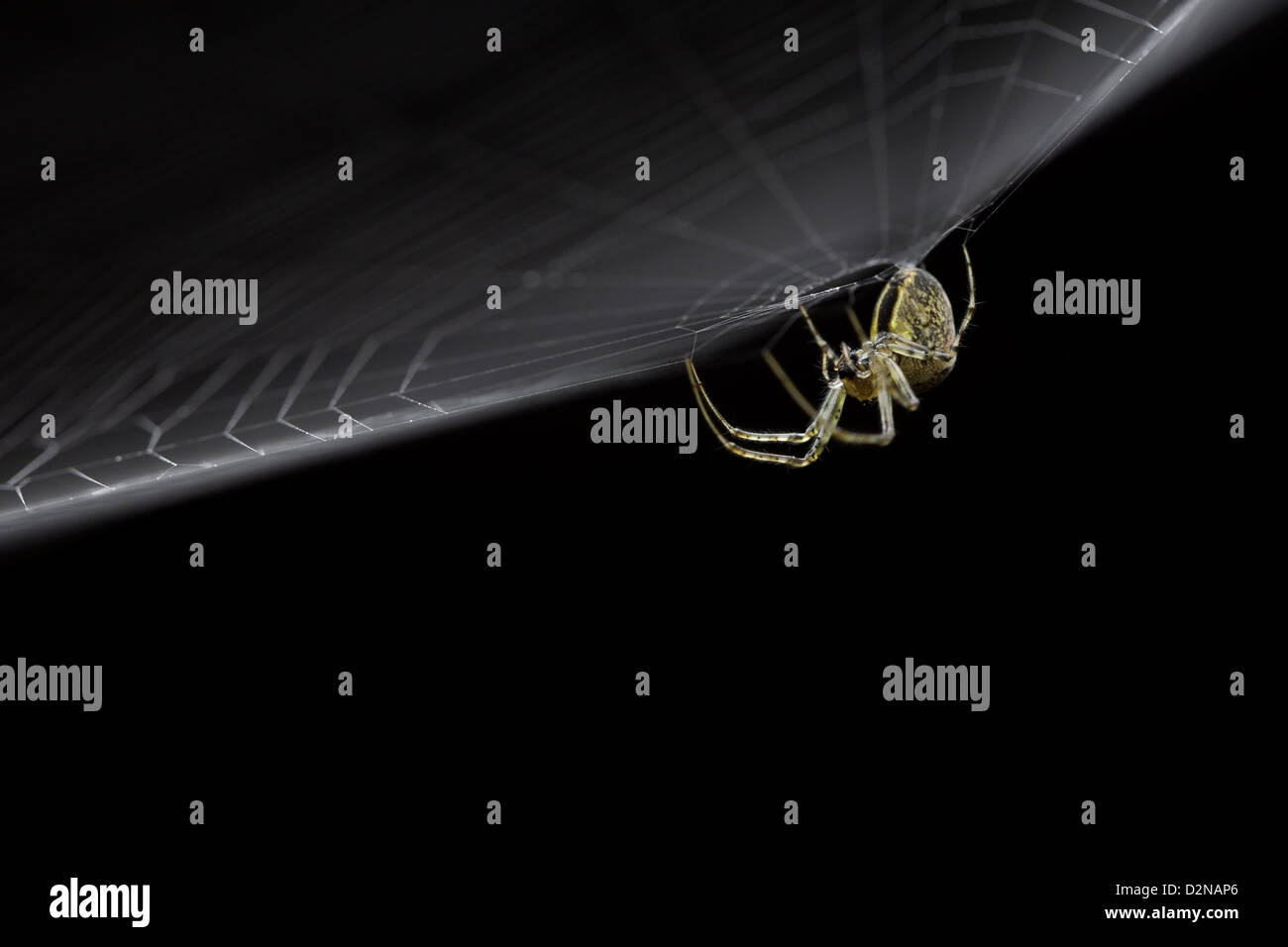spider hanging from its web lit from above with a dark background - Stock Image