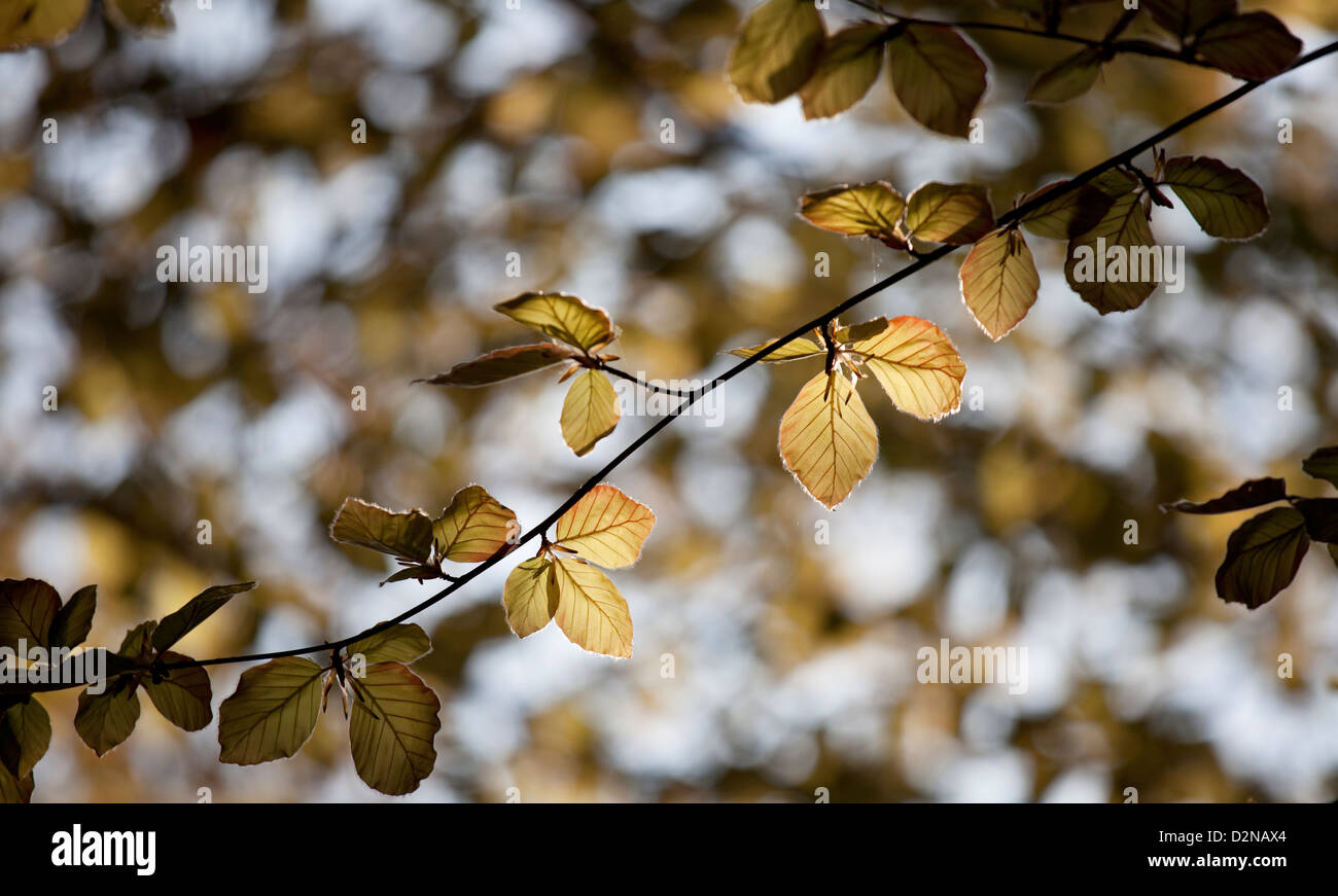 Fagus sylvatica 'Purpurea' - Copper Beech, young leaves - Stock Image