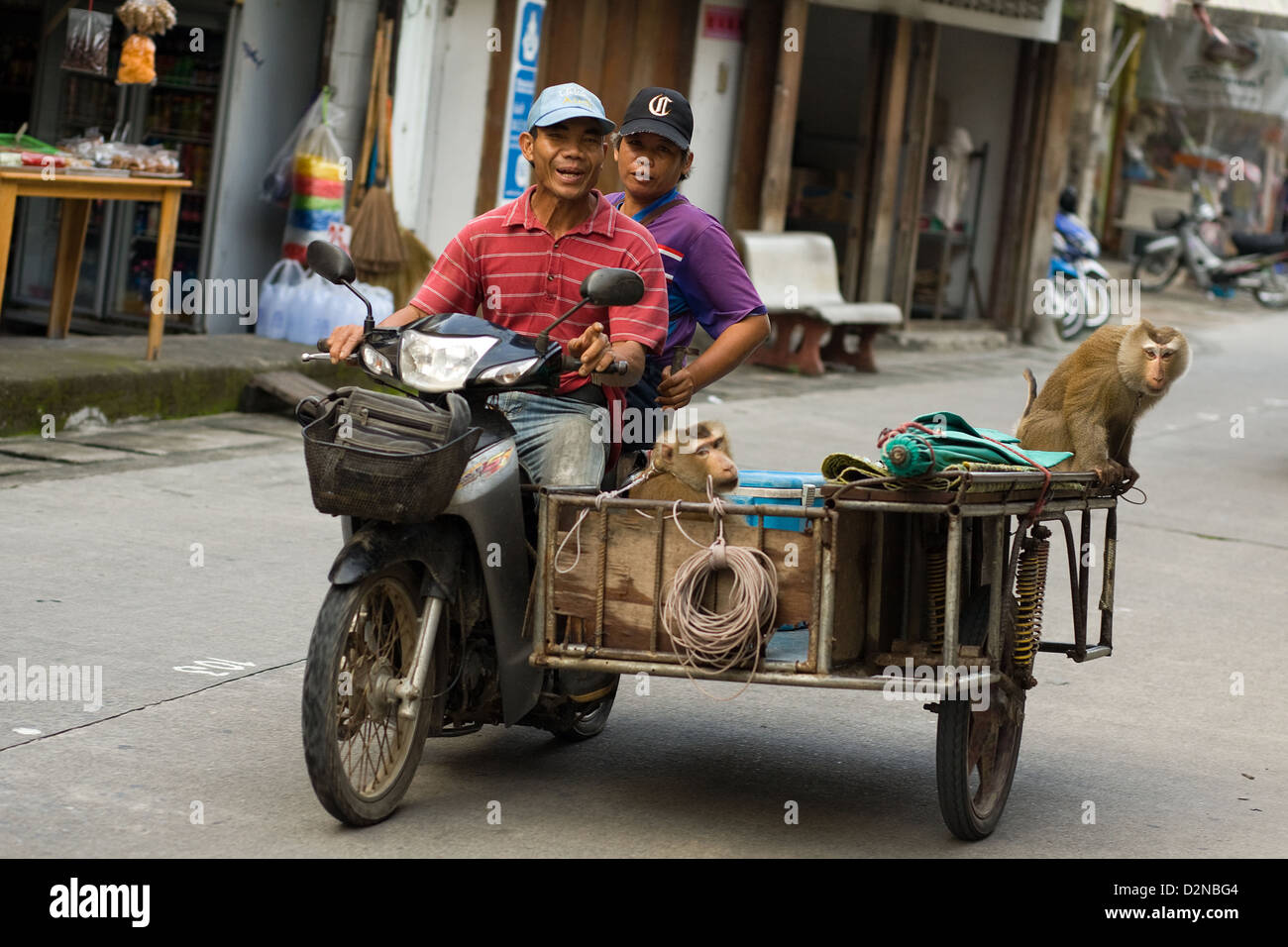 A man rides a moped and sidecar with 2 monkeys chained up through Thong Sala , Koh Phangan , Thailand - Stock Image