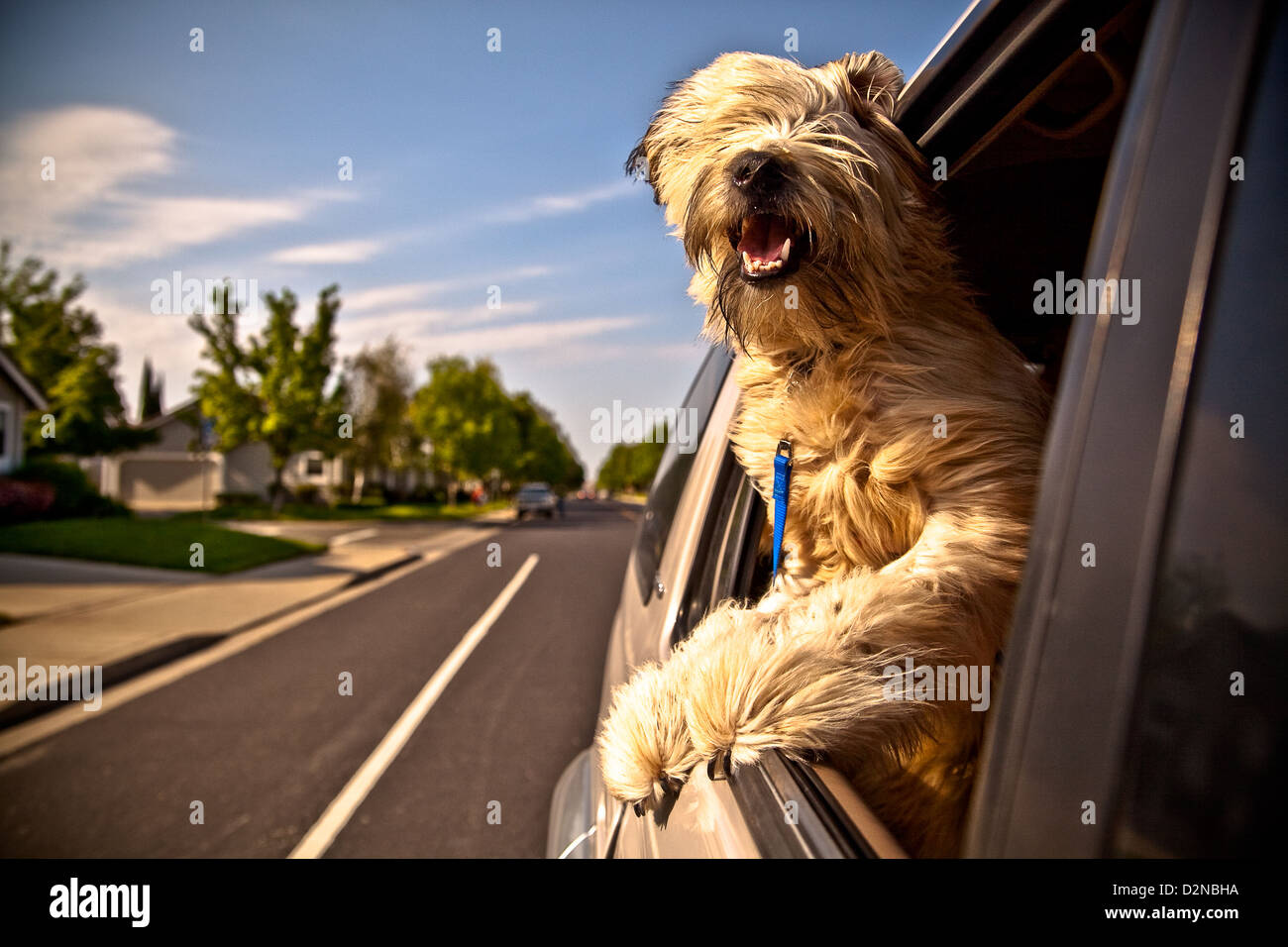 A dog hanging their head out a car window on a nice sunny day. - Stock Image