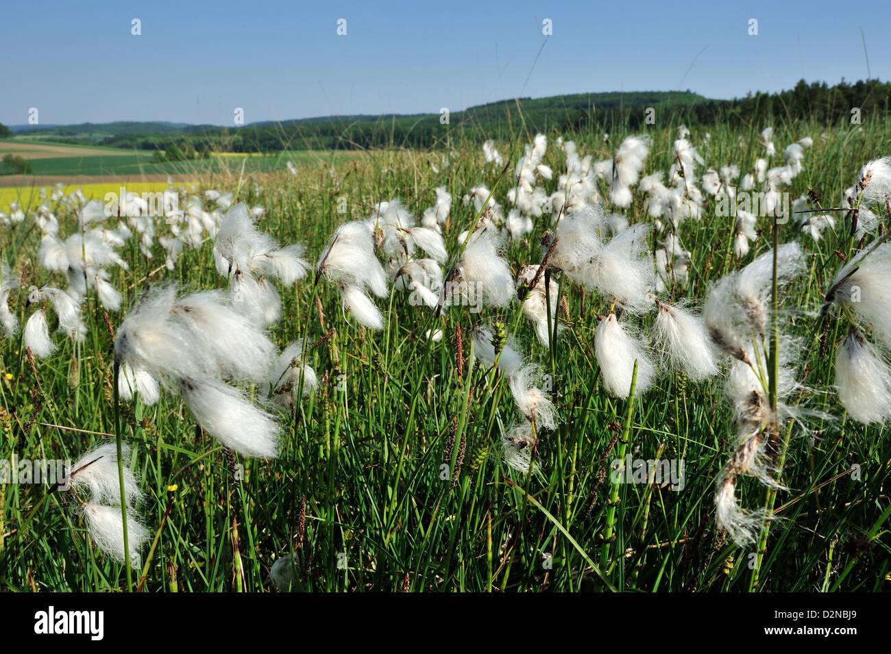 Breitblaettriges Wollgras (Eriophorum latifolium) Cotton grass • Ries, Bayern, Deutschland - Stock Image