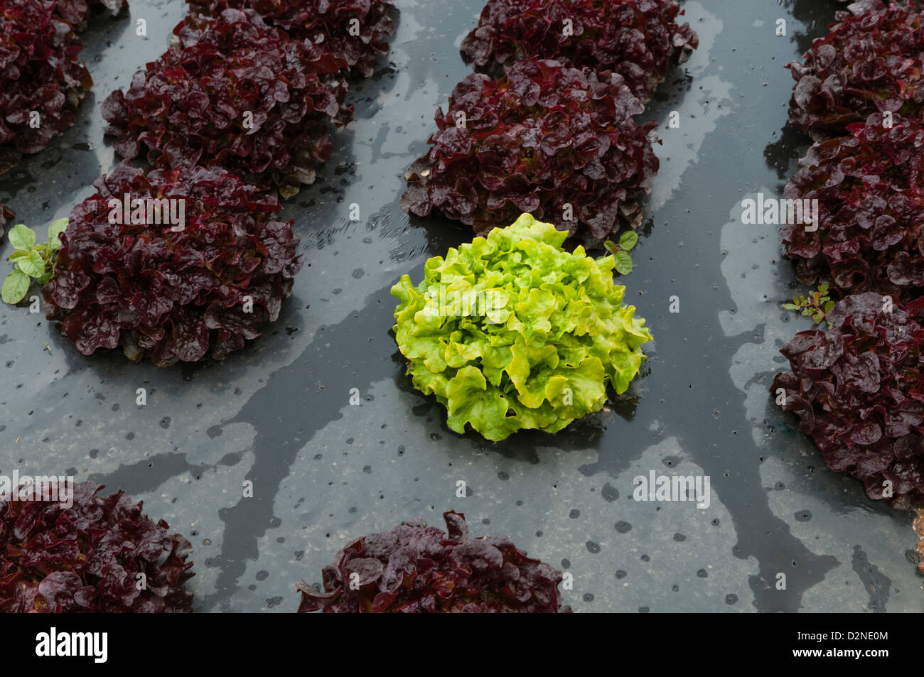 Agricultural Field Cropping Different Types Of Lettuces Spain
