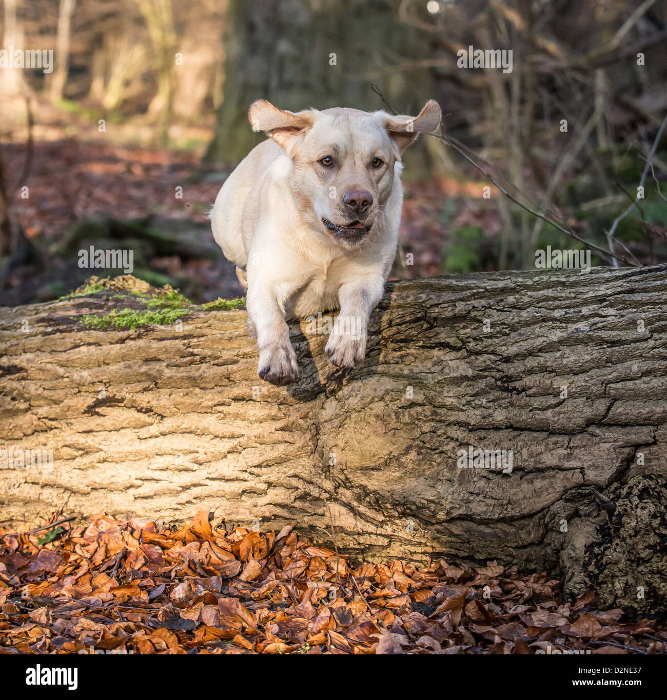 Labrador Gundog ,yellow/Golden in colour leaping over a log in woodland - Stock Image