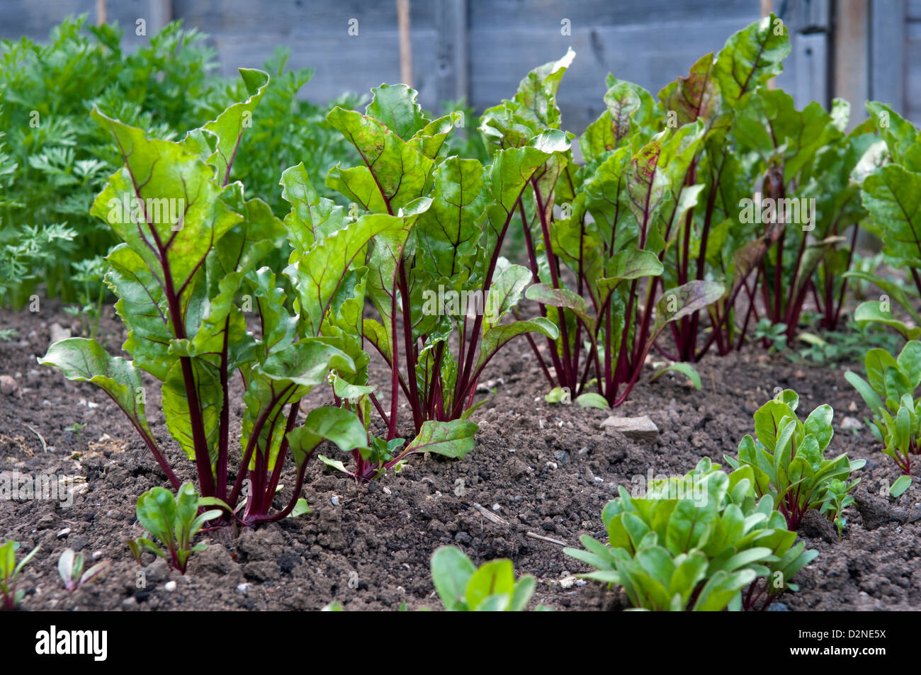 Beetroot plants, variety Boltardy, growing in garden Stock ...