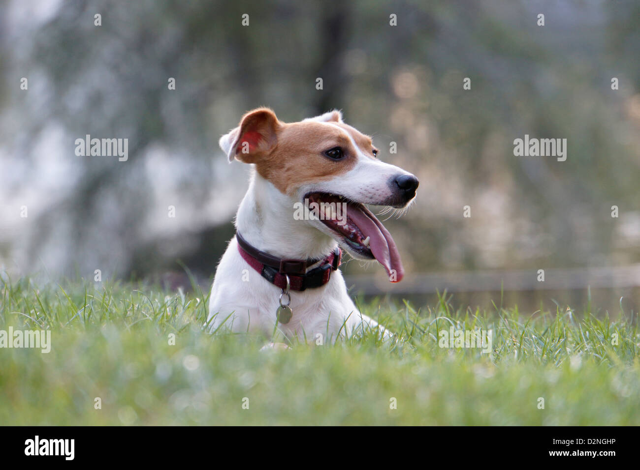 jack russell terrier dog pet panting tongue - Stock Image