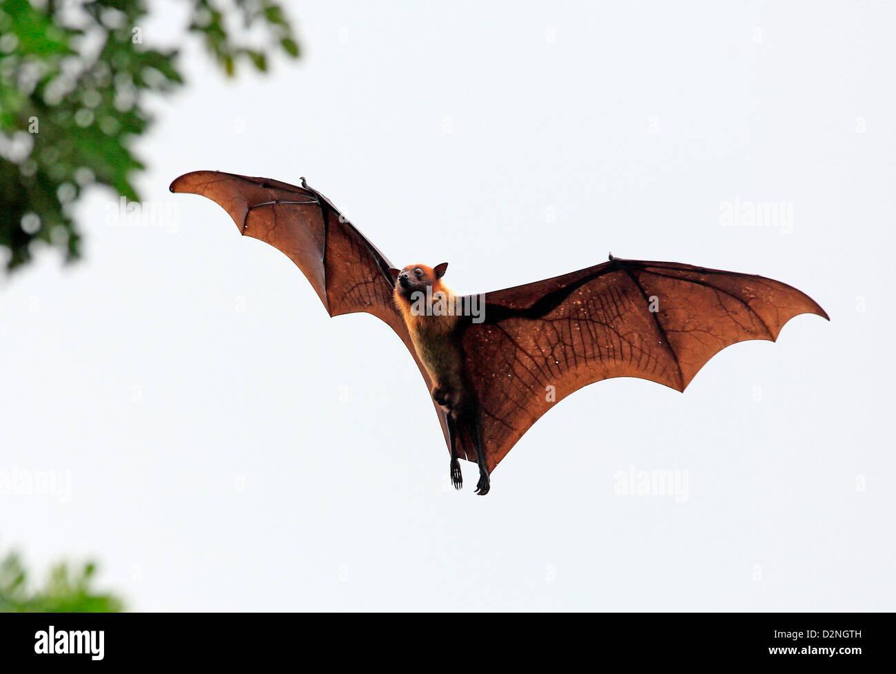Fruit bat (flying fox) in Tissamaharama, Sri Lanka. Stock Photo