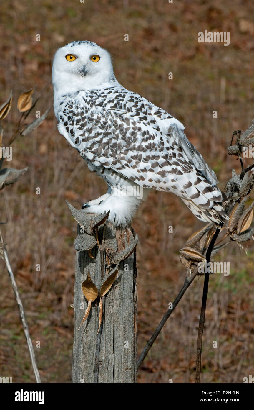 Great Snowy Owl Nyctea scandiacus sitting on fence post North America - Stock Image