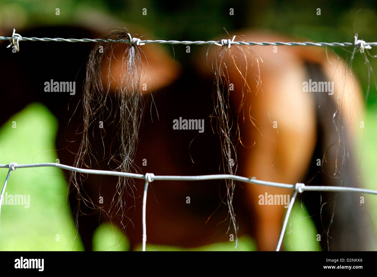 Horse hair hangs from barb wire . - Stock Image