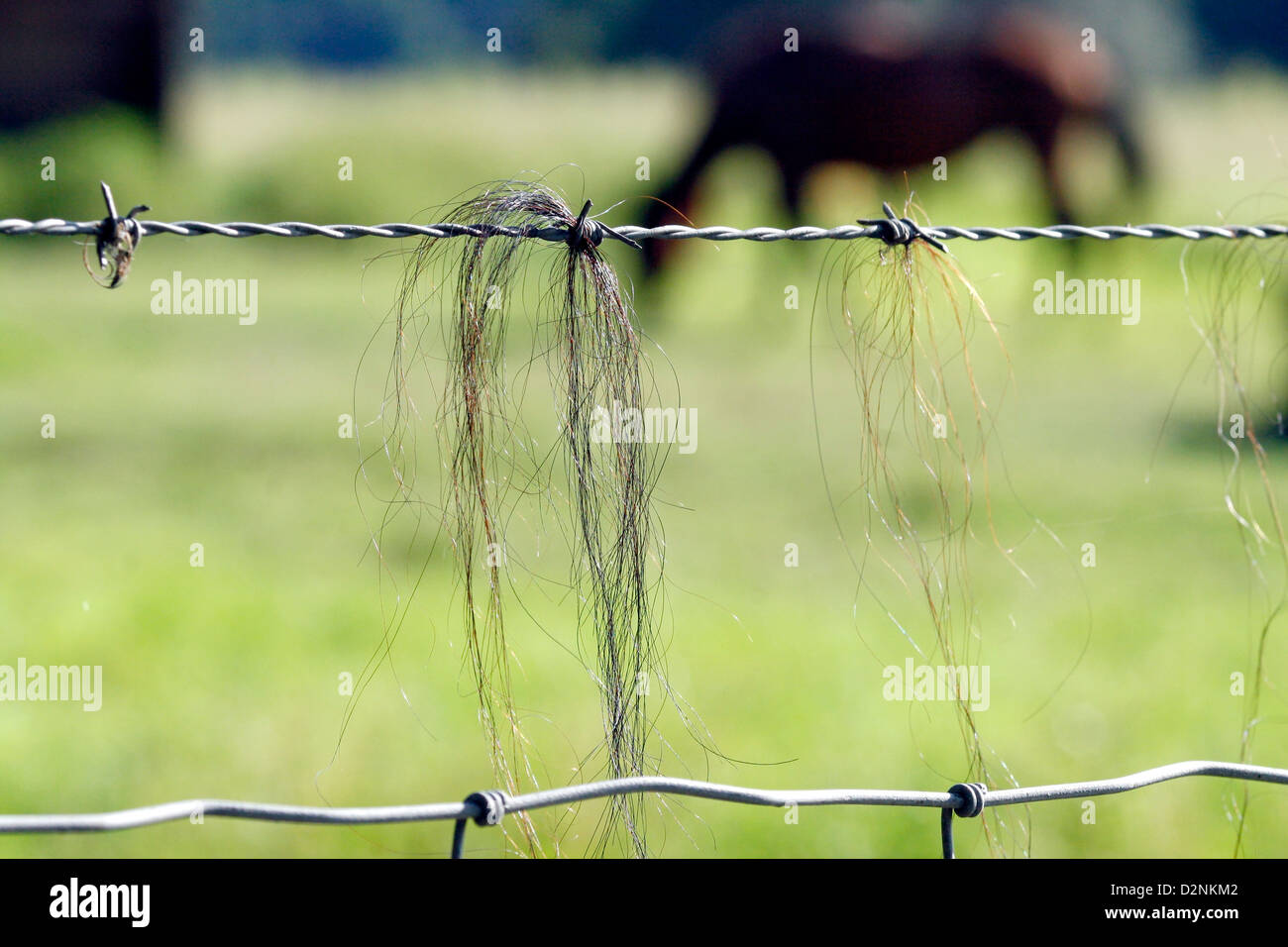 Closeup of horse hair caught on barb wire. - Stock Image
