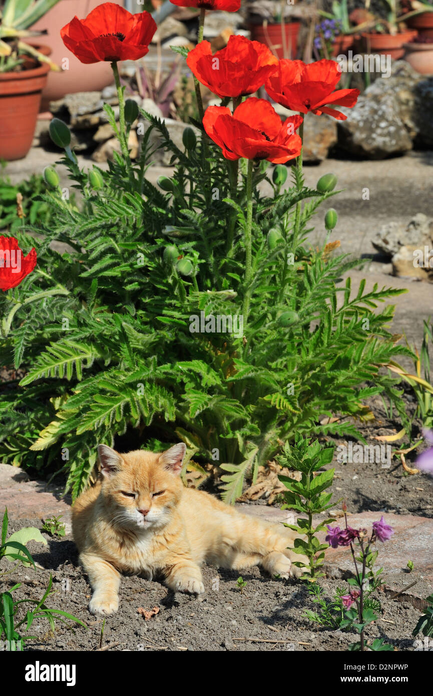 Hauskatze (Felis silvestris forma catus) Domestic cat • Landkreis Schwaebisch Hall, Baden-Wuerttemberg, Deutschland Stock Photo