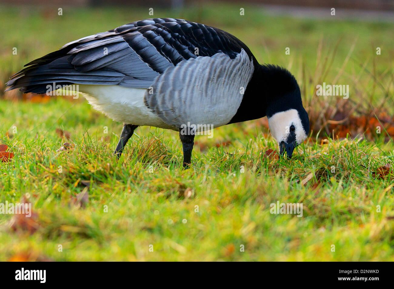 Barnacle Goose grazing in a meadow, Weisswangengans weidend. - Stock Image