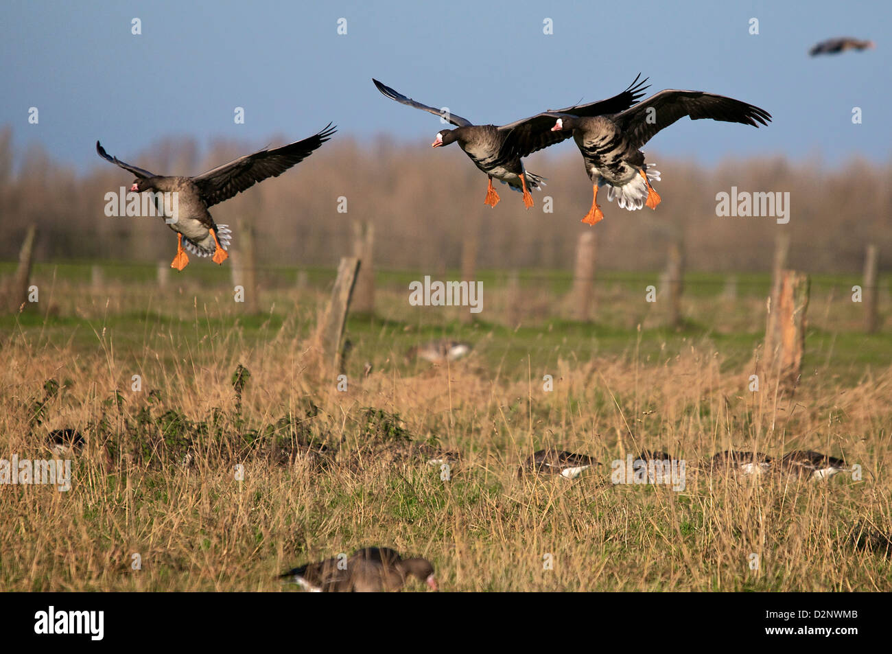 Landing group of Greater White Fronted Geese - Stock Image