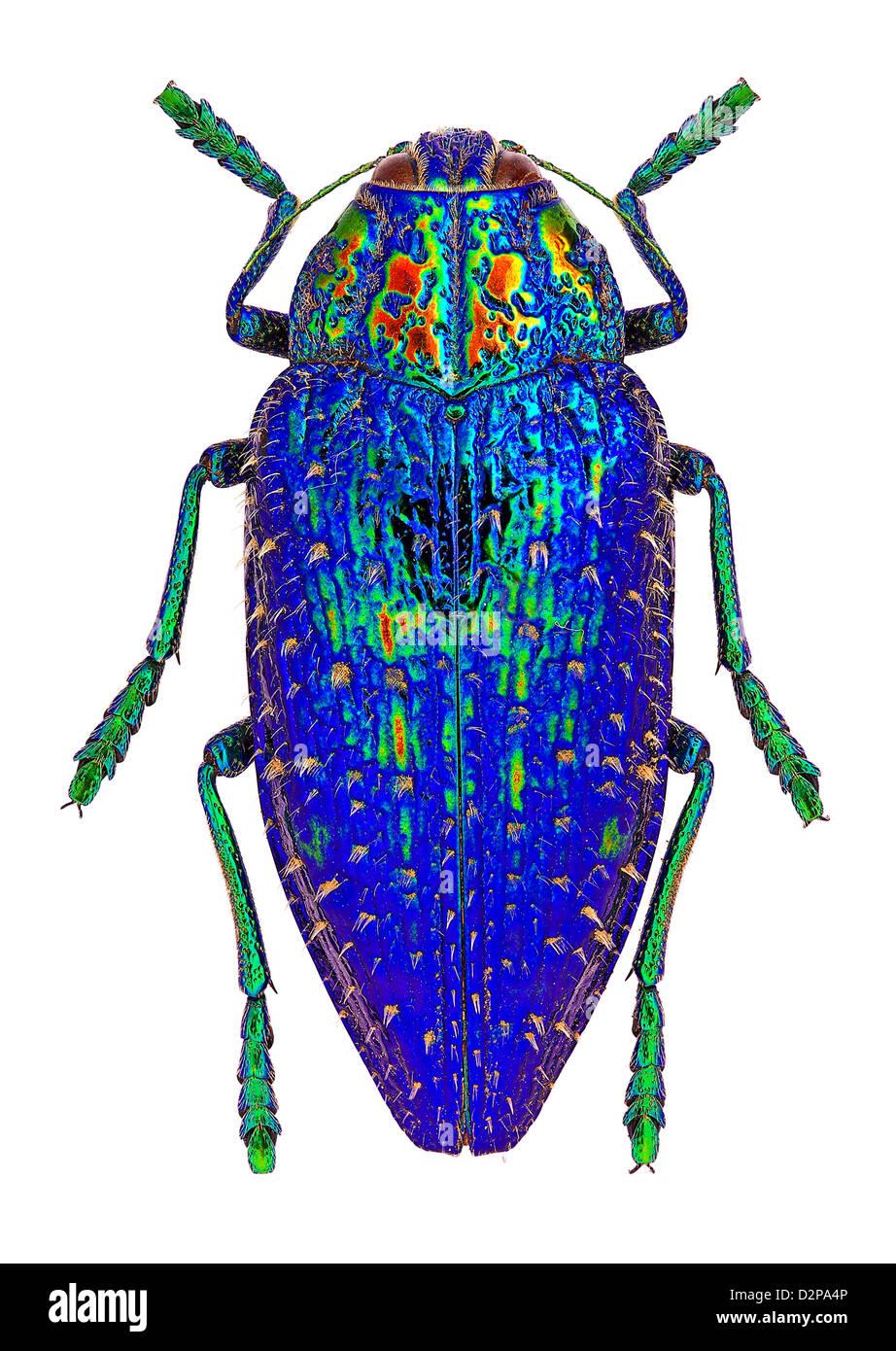Polybothris sumptuosa gema, a beautifl Jewel beetle (Buprestidae) from Madagascar - Stock Image