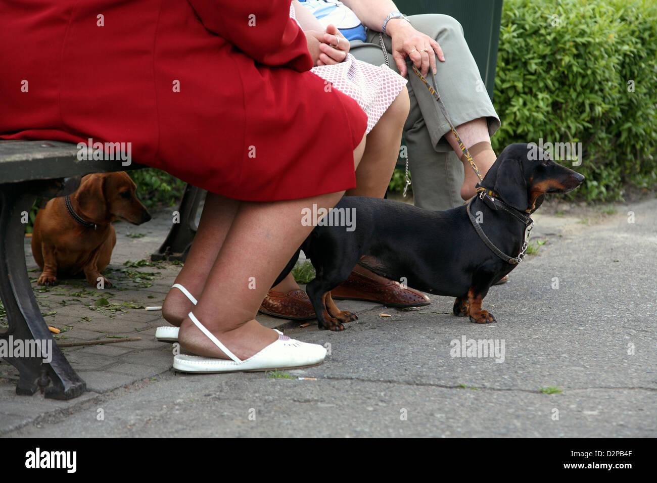 Kalisz, Poland, dachshund observe the environment - Stock Image