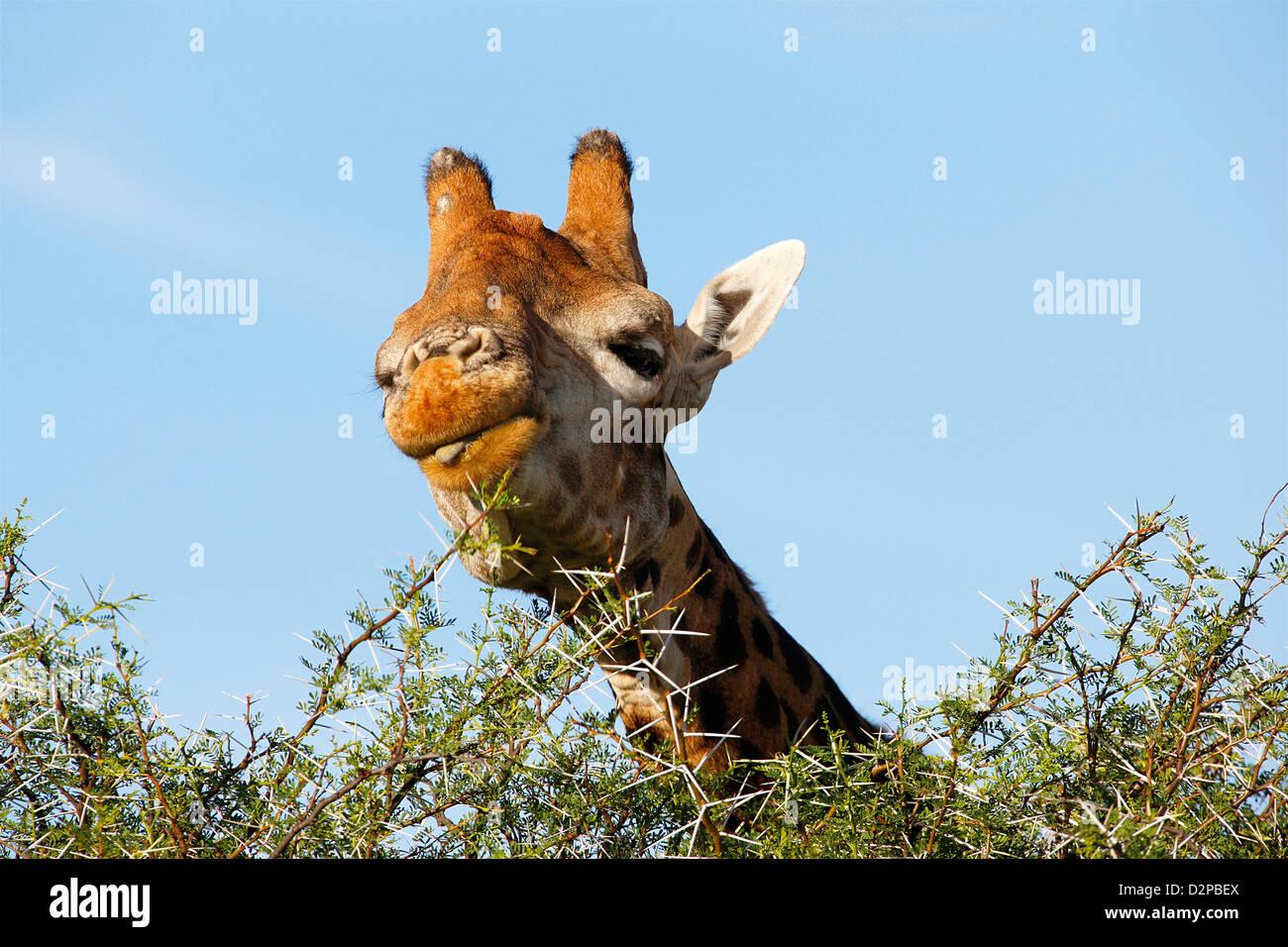 giraffe eating leaves Stock Photo