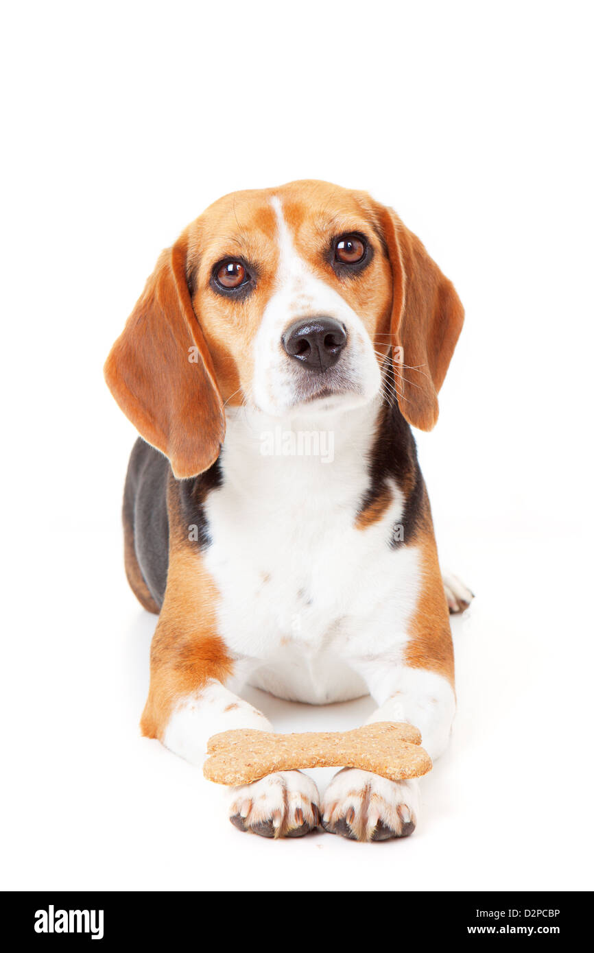 obedient dog getting training holding biscuit in paws - Stock Image