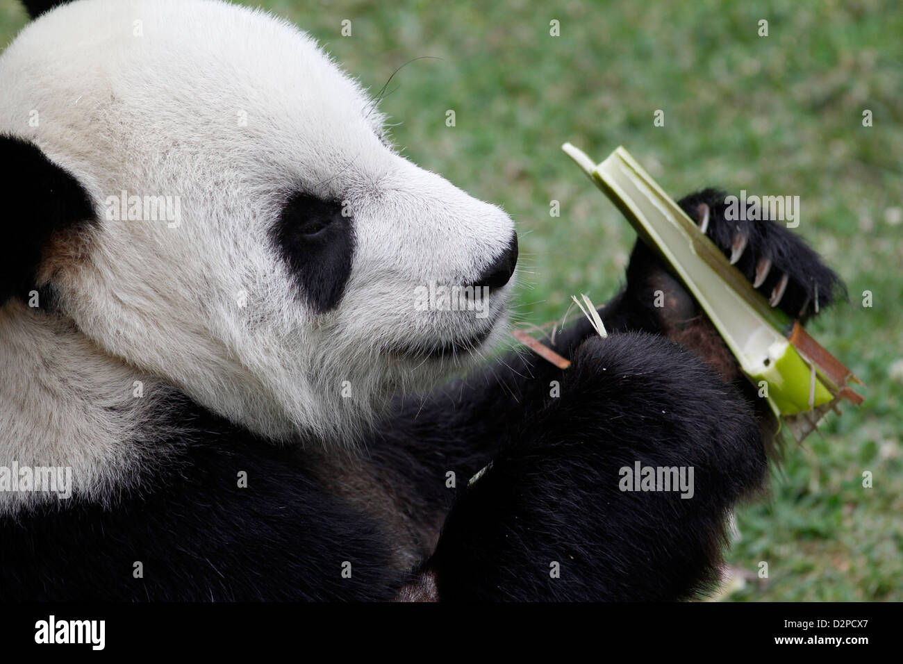Giant Panda eating bamboo Memphis Zoo Tennessee - Stock Image