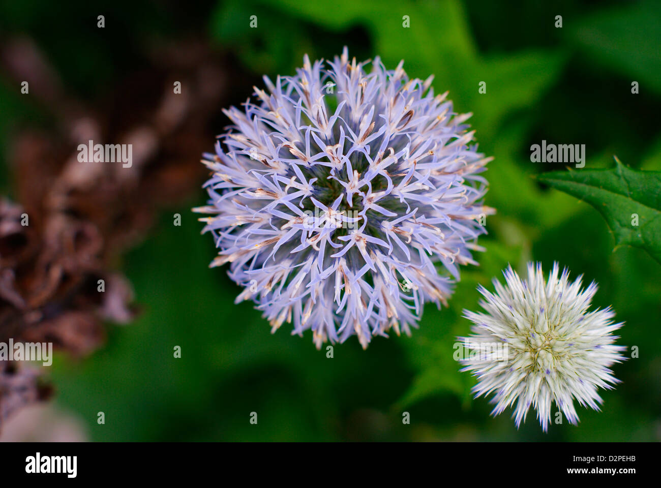 Flowering and Young Blue Globe Thistles - Echinops ritro - Stock Image