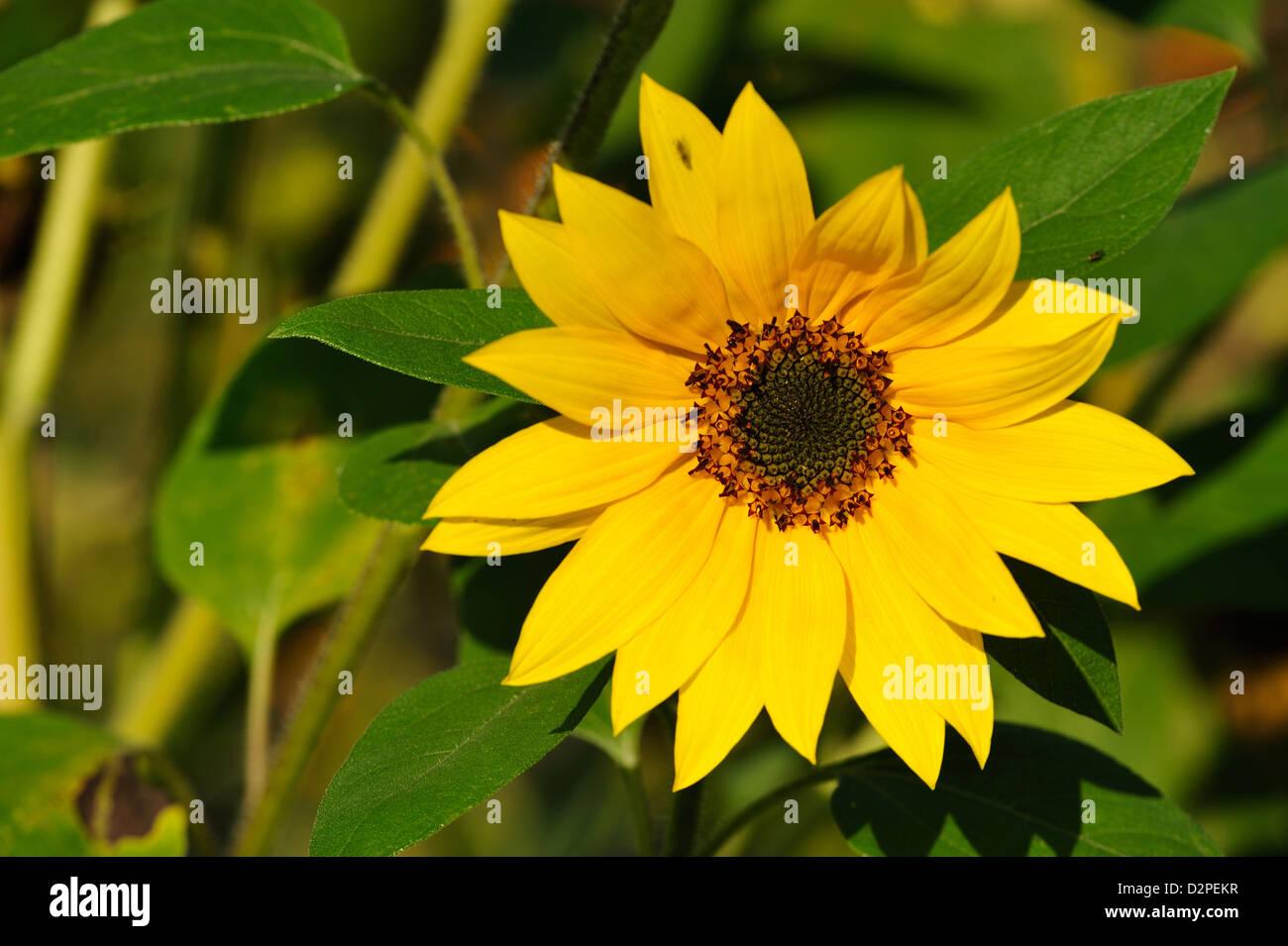 Sonnenblume (Helianthus annuus) Sunflower • Landkreis Schwaebisch Hall, Baden-Wuerttemberg, Deutschland - Stock Image