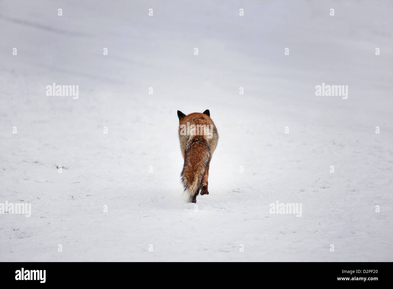 Backside of Red fox (Vulpes vulpes) walking over snow covered meadow in winter - Stock Image