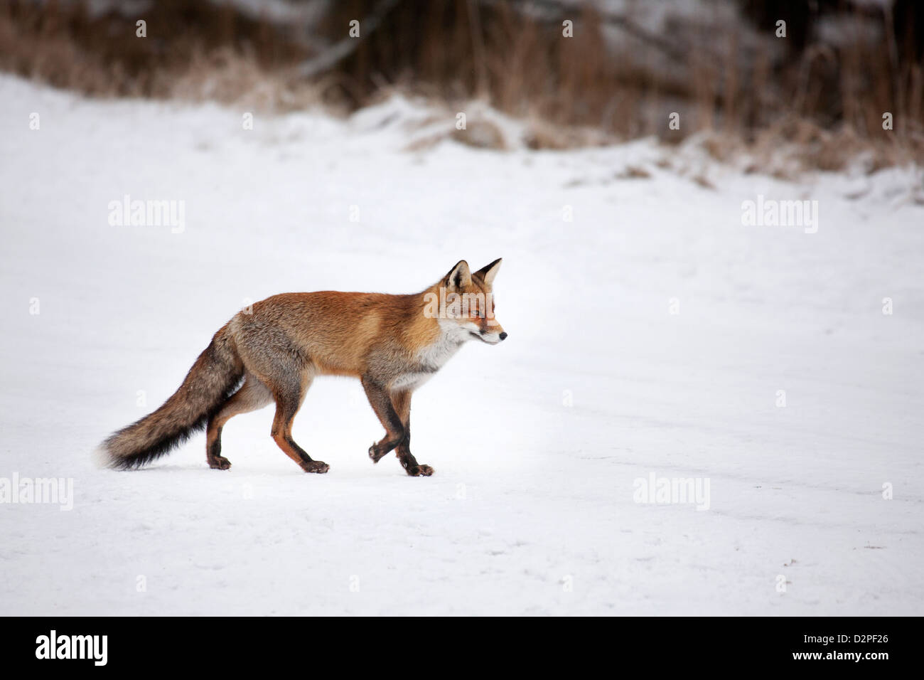 Red fox (Vulpes vulpes) hunting in snow covered grassland in winter - Stock Image