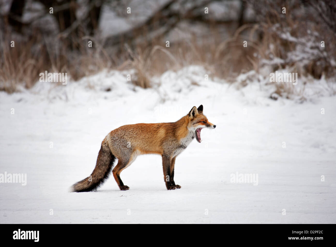 Red fox (Vulpes vulpes) yawning / yelping in grassland along forest edge in the snow in winter - Stock Image