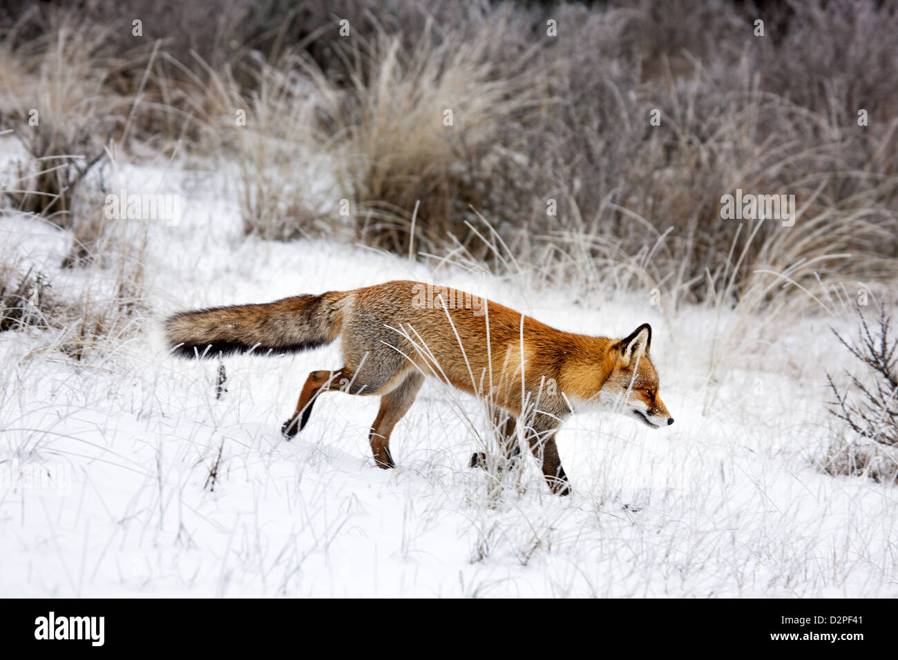 Red fox (Vulpes vulpes) hunting in grassland and thicket in the snow in winter - Stock Image
