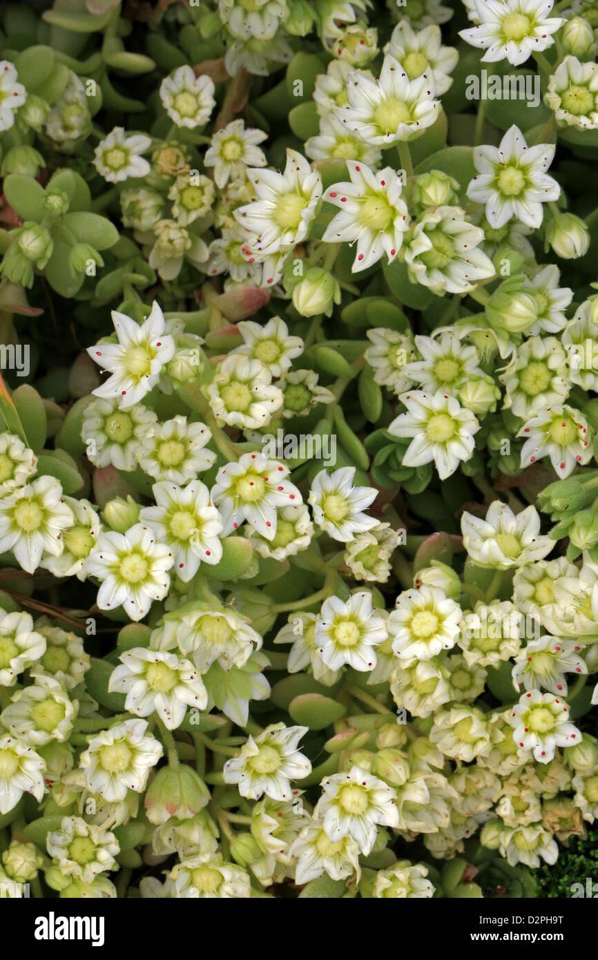 Rosularia, Rosularia sedoides var. alba, Crassulaceae. Himalayas. - Stock Image