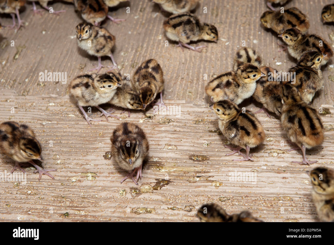 Day old pheasant chicks in rearing shed on a shooting estate. - Stock Image