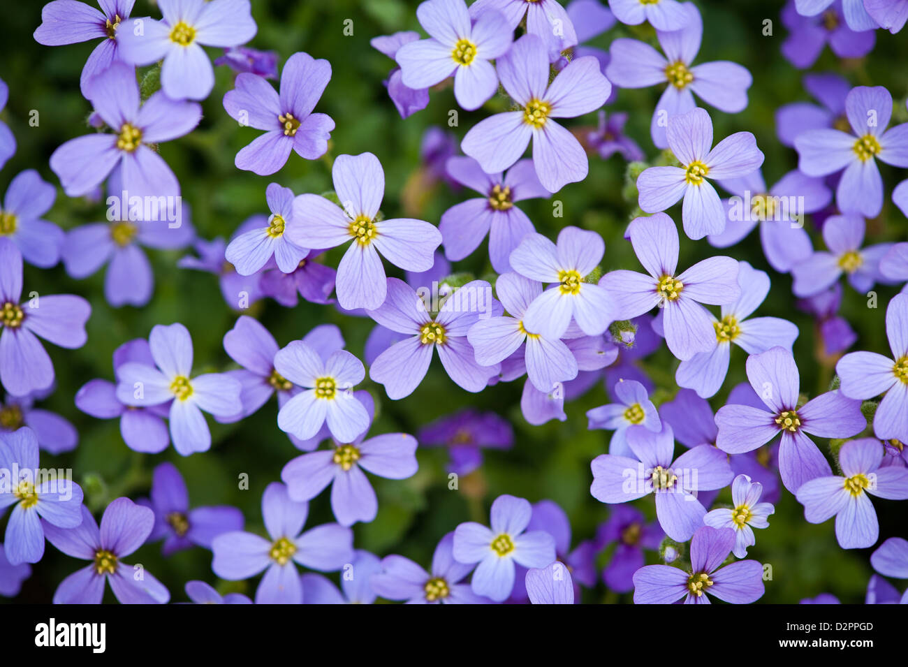 close up of beautiful tiny violet flowers - Stock Image