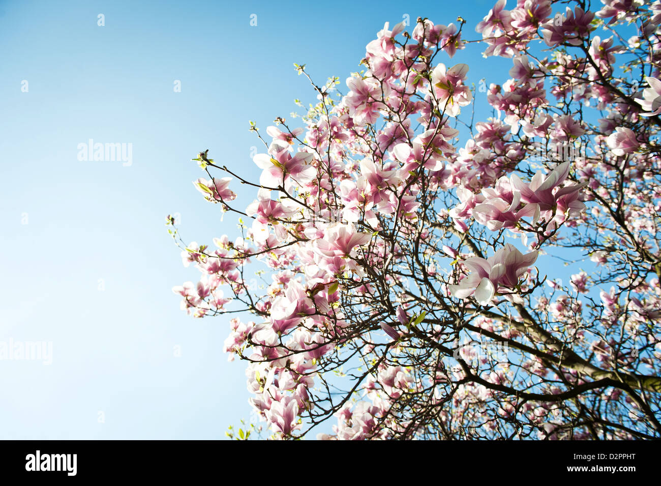 blooming magnolia tree with clear blue sky in background Stock Photo