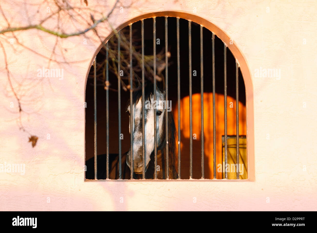 Gray Lusitano horse looks out stall window with bars as sun rises on a winter morning. Stock Photo