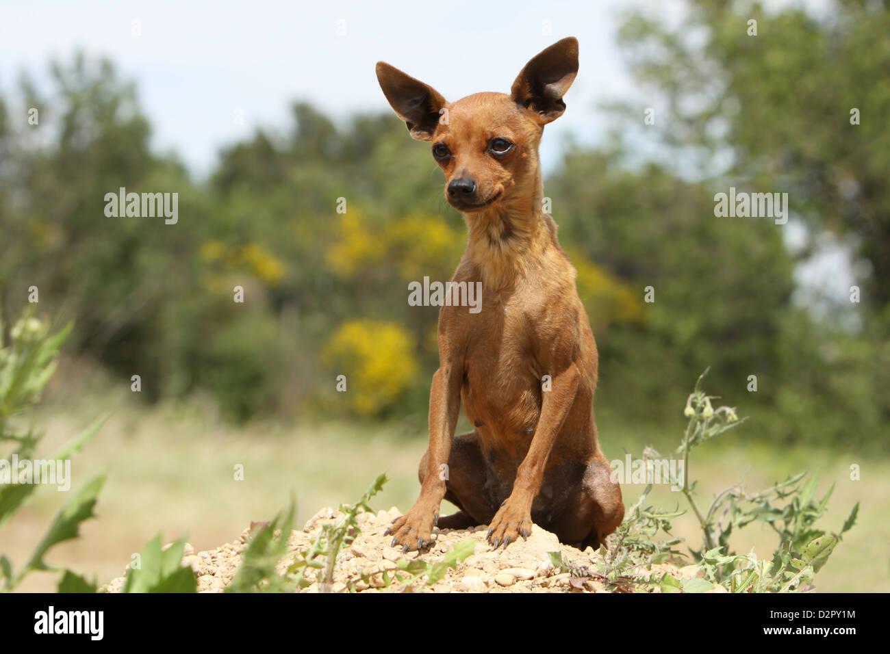 Dog Prazsky krysarik / Prague Ratter / Ratier de Prague  adult sitting on the ground Stock Photo