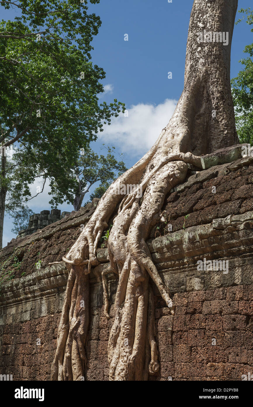 A sprawling root lays over a wall, Tah Prohm, Angkor, UNESCO World Heritage Site, Cambodia, Indochina, Southeast - Stock Image