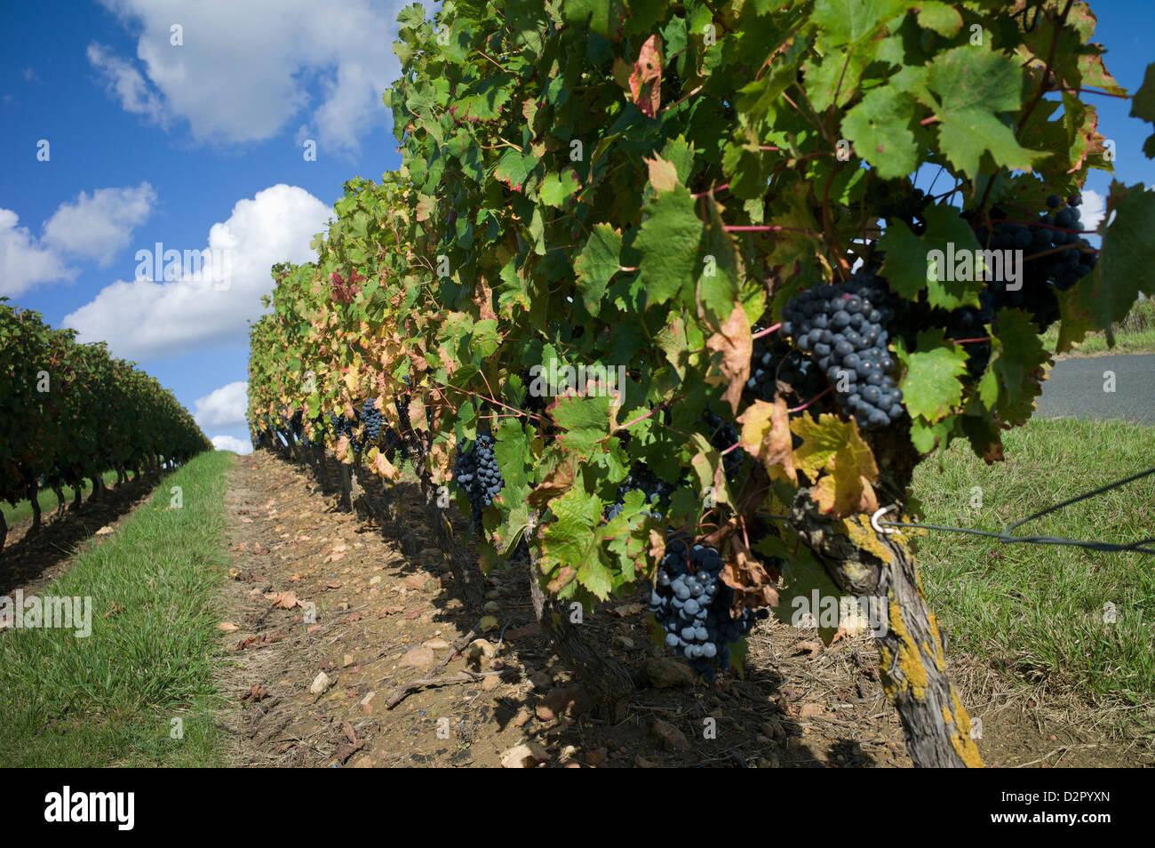 Vineyard, Saumur, Maine-et-Loire, Loire Valley, France, Europe - Stock Image