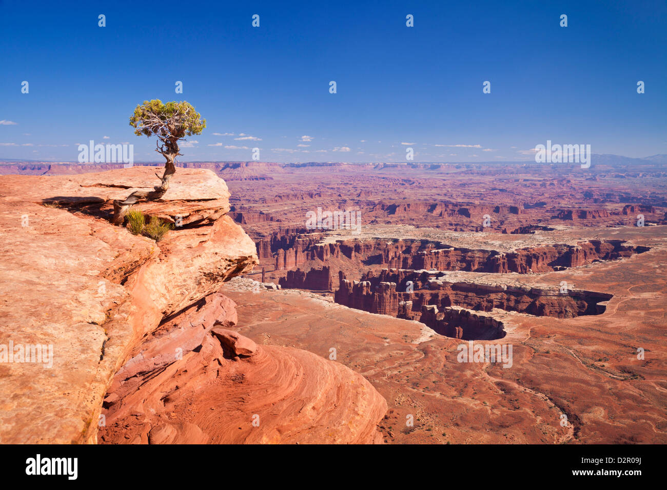 Grand View Point overlook and juniper tree, Island in the Sky, Canyonlands National Park, Utah, USA Stock Photo