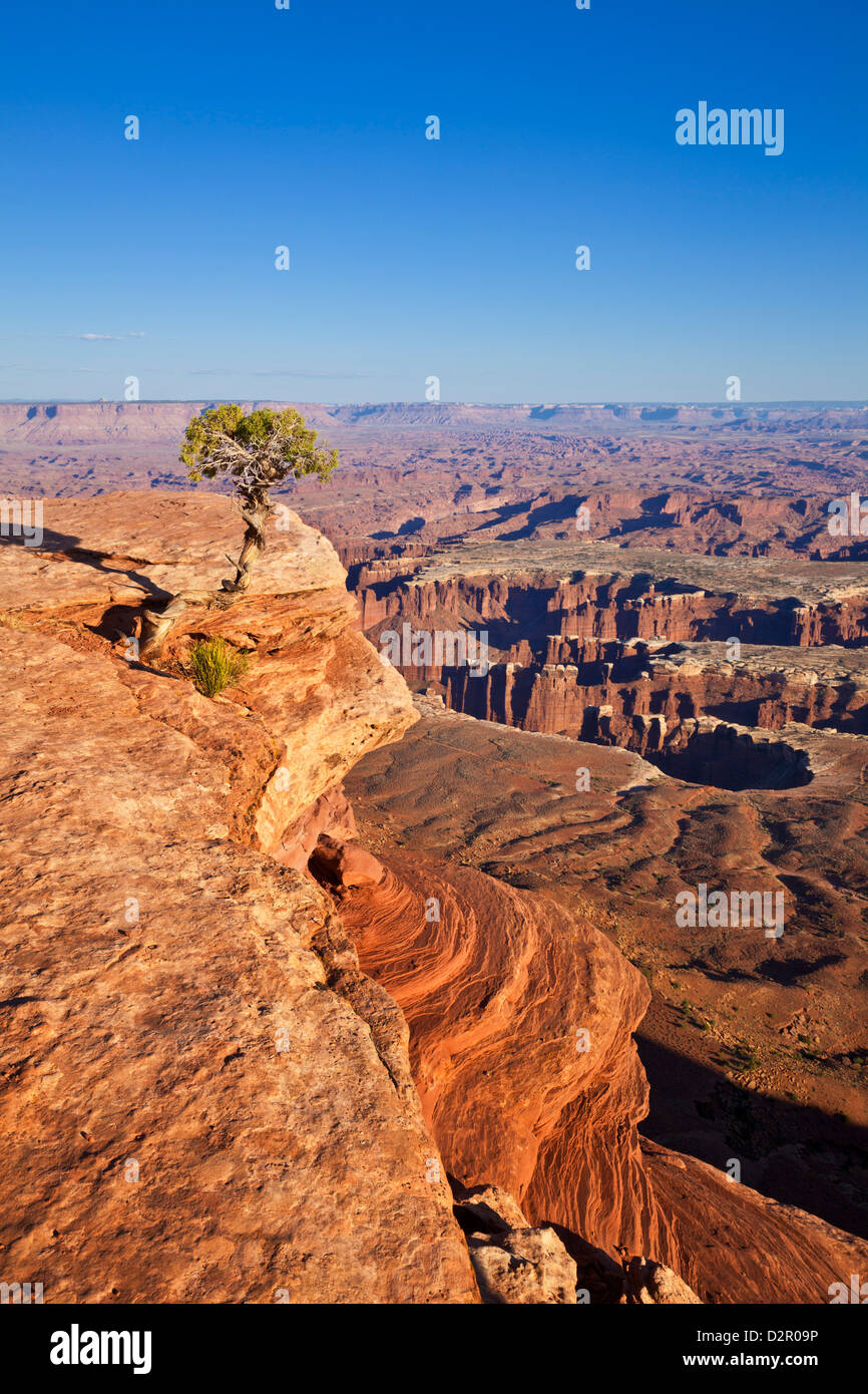 Grand View Point overlook and juniper tree, Island in the Sky, Canyonlands National Park, Utah, USA - Stock Image