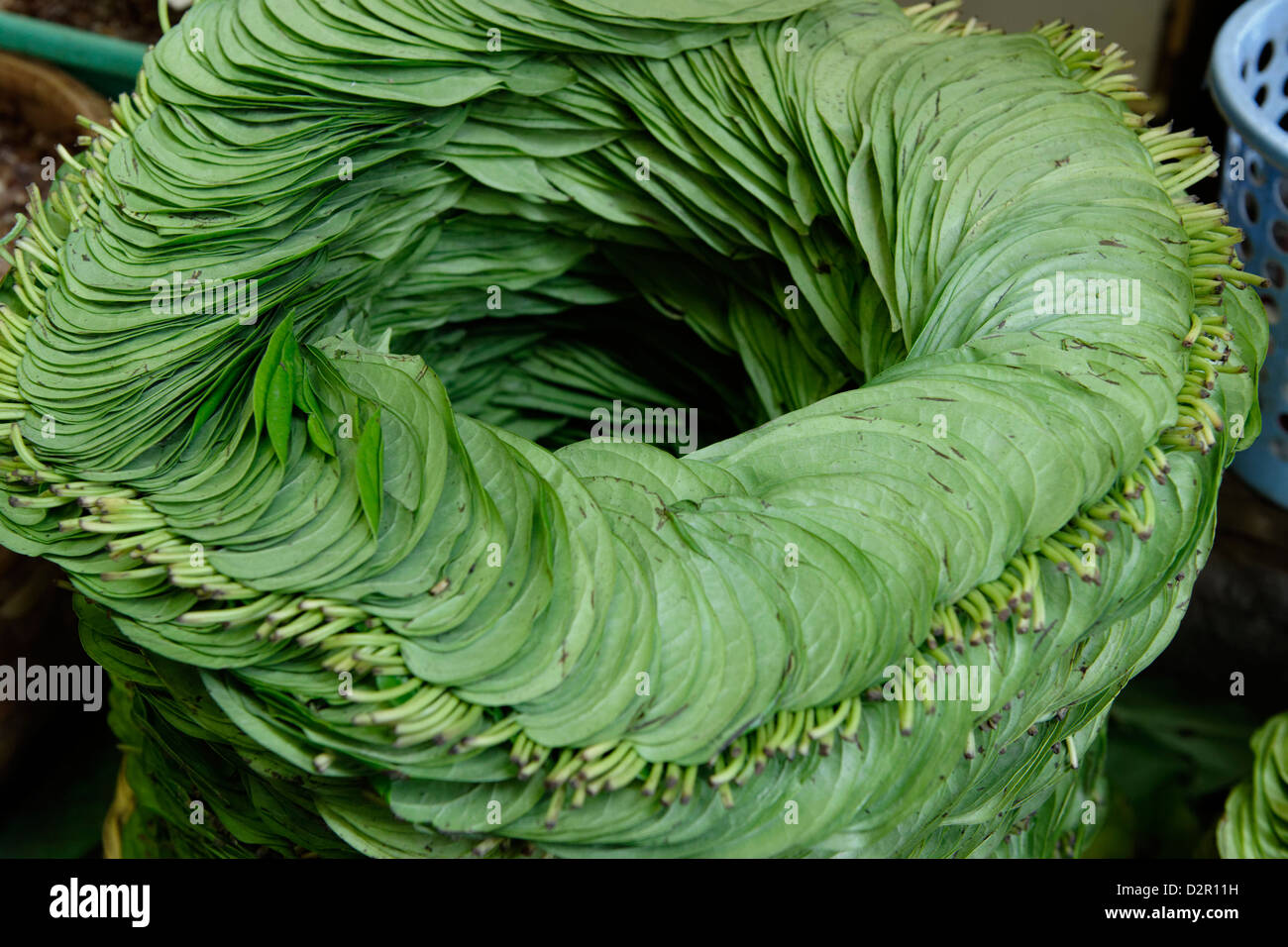 Betel, leaf of a vine belonging to the Piperaceae family, used as a stimulant, antiseptic and breath-freshener, - Stock Image