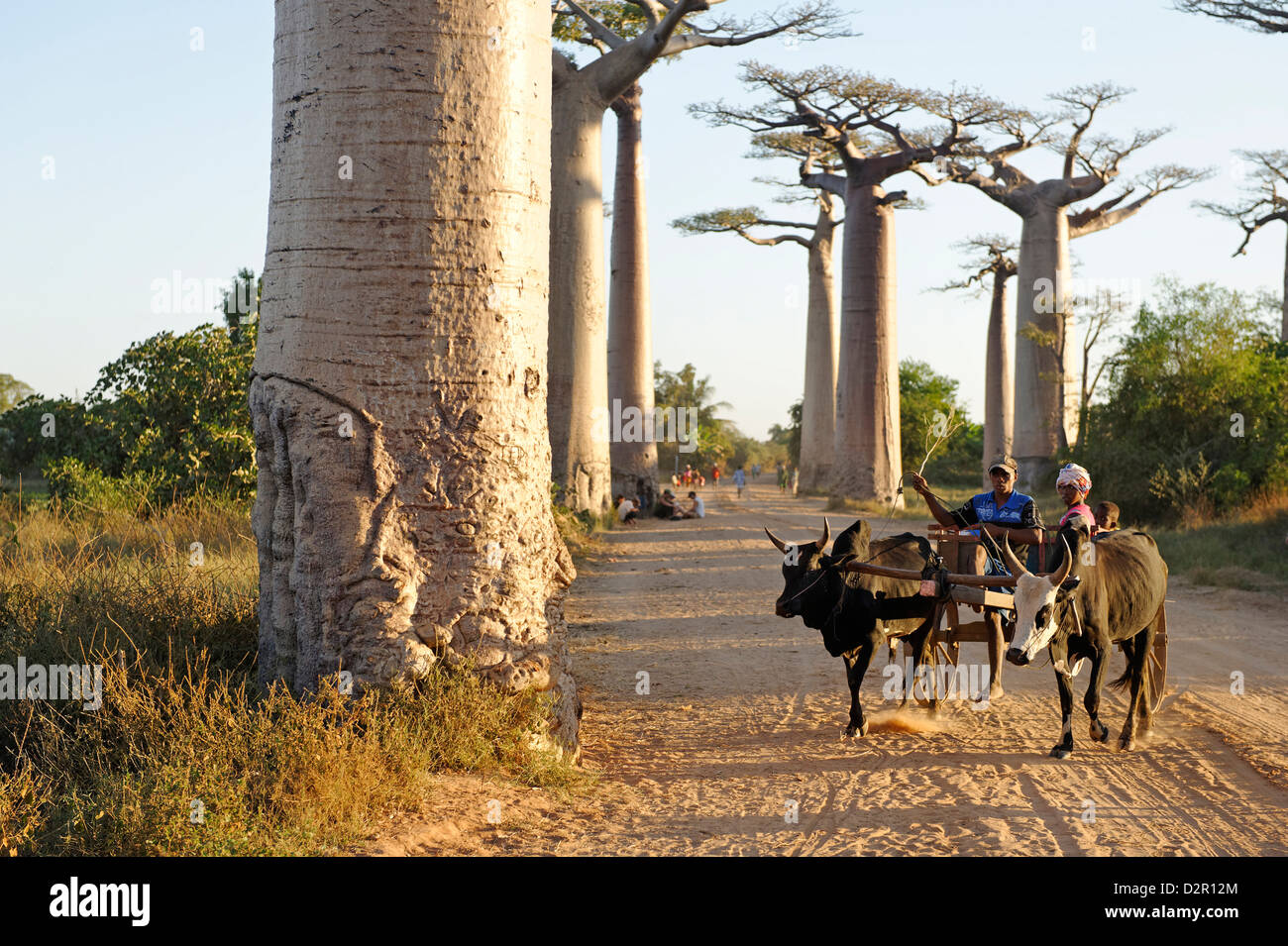 The Alley of the Baobabs, a group of baobab trees lining the road between Morondava and Belon'i Tsiribihina, - Stock Image