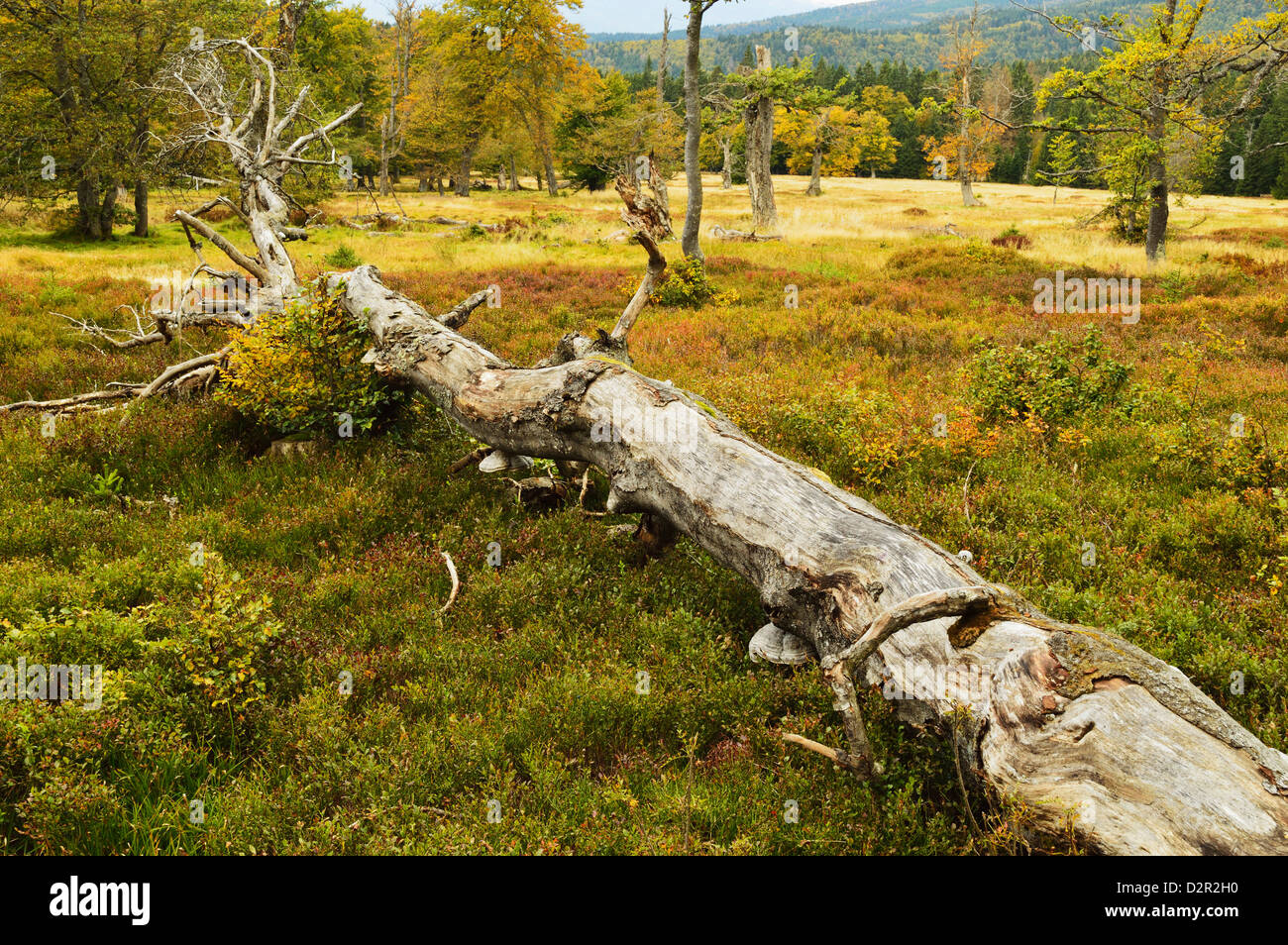 Pature with autumn colors, Bavarian Forest National Park, Bavarian Forest, Bavaria, Germany, Europe Stock Photo