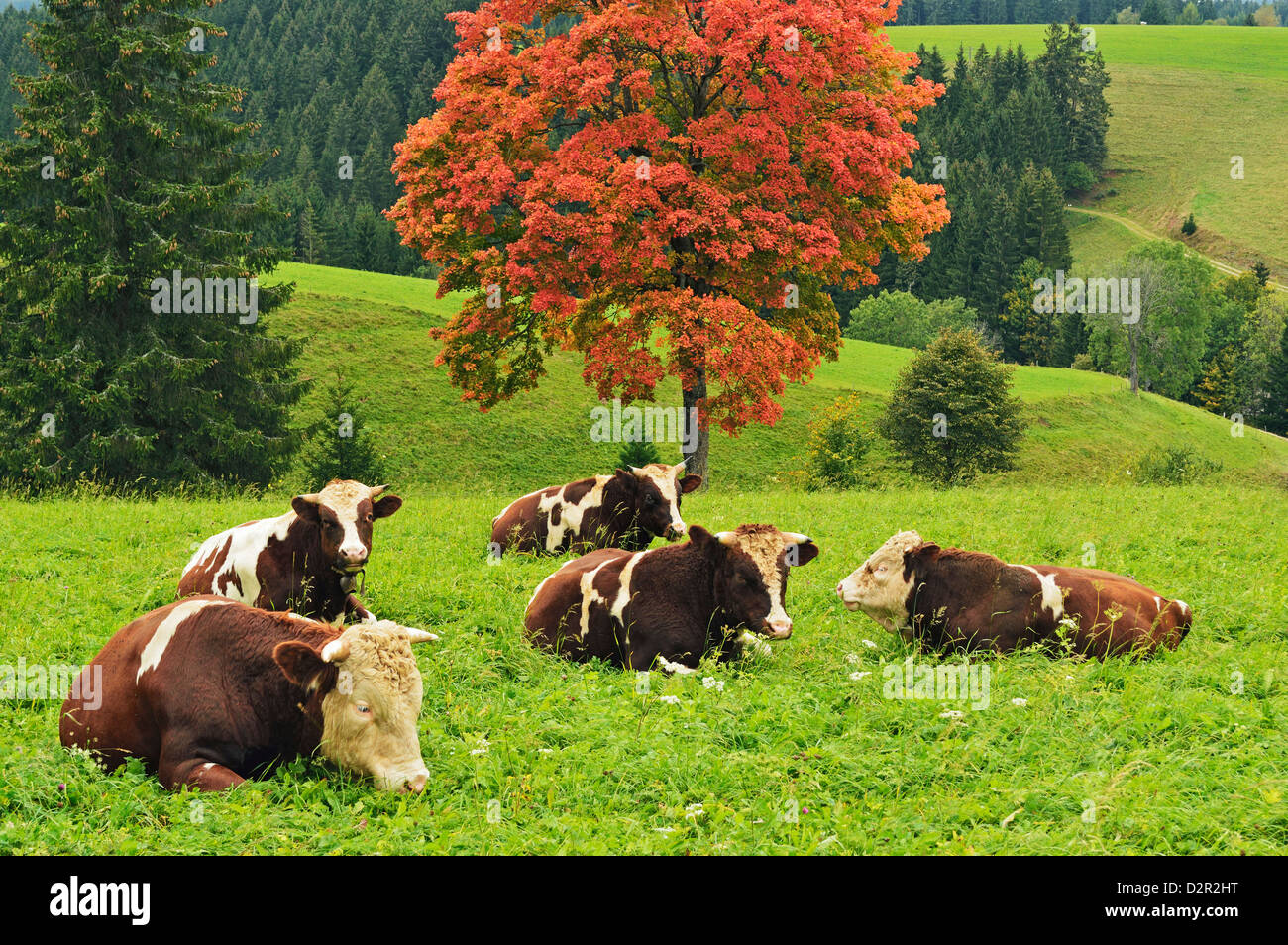 Bulls on pasture and maple tree, Black Forest, Schwarzwald-Baar, Baden-Wurttemberg, Germany, Europe - Stock Image