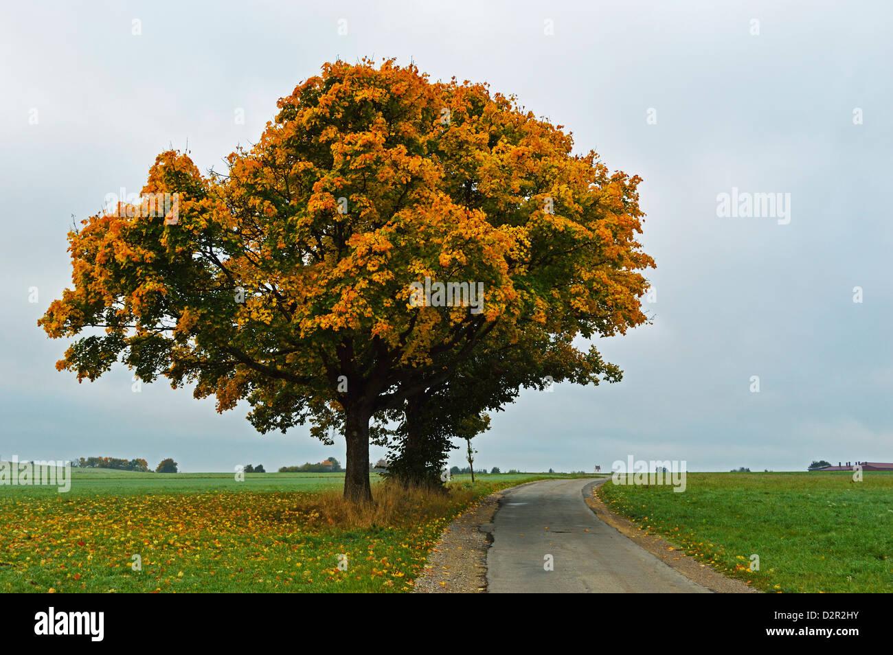 Maple tree with autumn colors, near Villingen-Schwenningen, Black Forest, Schwarzwald-Baar, Baden-Wurttemberg, Germany, - Stock Image